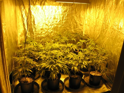 Growing for a dispensary